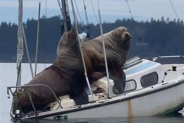 В США морские львы угнали катер