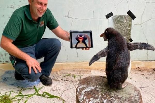 Одинокого пингвина в зоопарке развлекают мультфильмами
