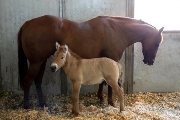 В США клонировали умершую лошадь Пржевальского