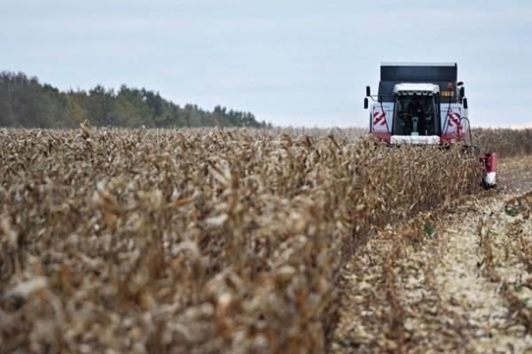 В Украине худший за пять лет урожай кукурузы