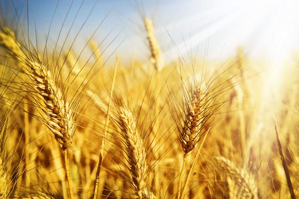 Минэкономики прогнозирует урожай зерновых в Украине на уровне 75,1 млн тонн