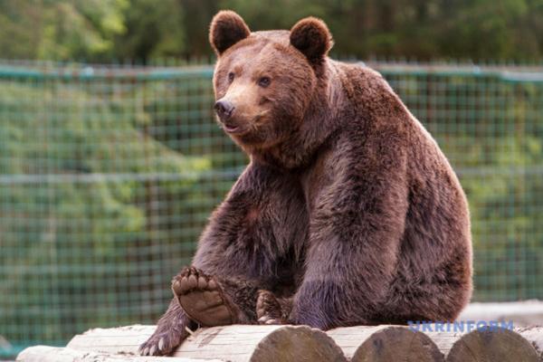В зоопарк Нидерландов передадут двух медведей, которых «нашли» в Укрзализныце
